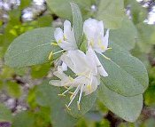 Lonicera fragrantissima Fragrant Winter Honeysuckle