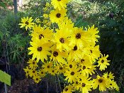Helianthus Gold Lace Perennial Sunflower Price Includes Delivery