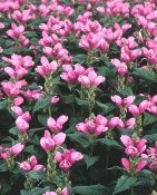 Chelone Turtlehead Plant Price Includes Delivery
