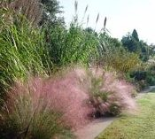 Pink Muhly Grass Muhlenbergia Capillaris in Fall bloom.