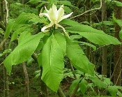 Magnolia Tripetala Bigleaf Umbrella Magnolia deciduous native tree Shady Gardens Nursery