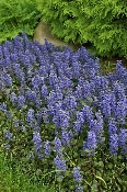 Ajuga, bronze, chocolate, burgundy, Shady, Gardens, nursery, online