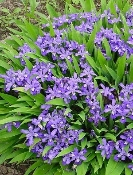Iris cristata Dwarf Crested Iris available in blue or white blooms