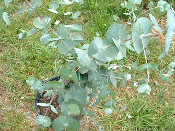 Eucalyptus cinerea Silver Dollar Tree Price Includes Shipping