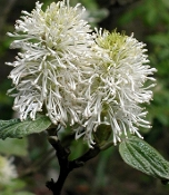 Fothergilla Native Witch Alder Mt Airy at Shady Gardens Nursery