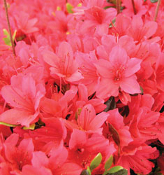 Evergreen Azaleas from Shady Gardens Nursery