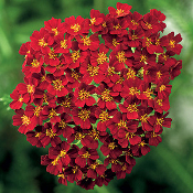 Achillea, yarrow, desert, eve, red, Shady, Gardens, nursery, online