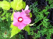 Athea Hibiscus Syriacus Rose of Sharon from Shady Gardens Nursery