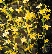 Jasmine nudiflorum Yellow Winter Shrub