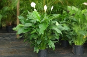 Rabbiteye Blueberries, Vaccinium ashei
