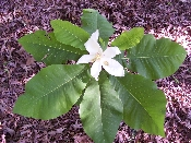 Magnolia Ashei Bigleaf Magnolia Price Includes Delivery