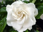 Gardenia Daisy August Beauty Michael Mystery