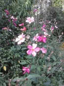 Mutabilis Rose Butterfly China Rose Shady Gardens Nursery online