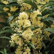 Osmanthus fragrans Fortunei Fortune's Fragrant Sweet Tea Olive Shady Gardens Nursery online
